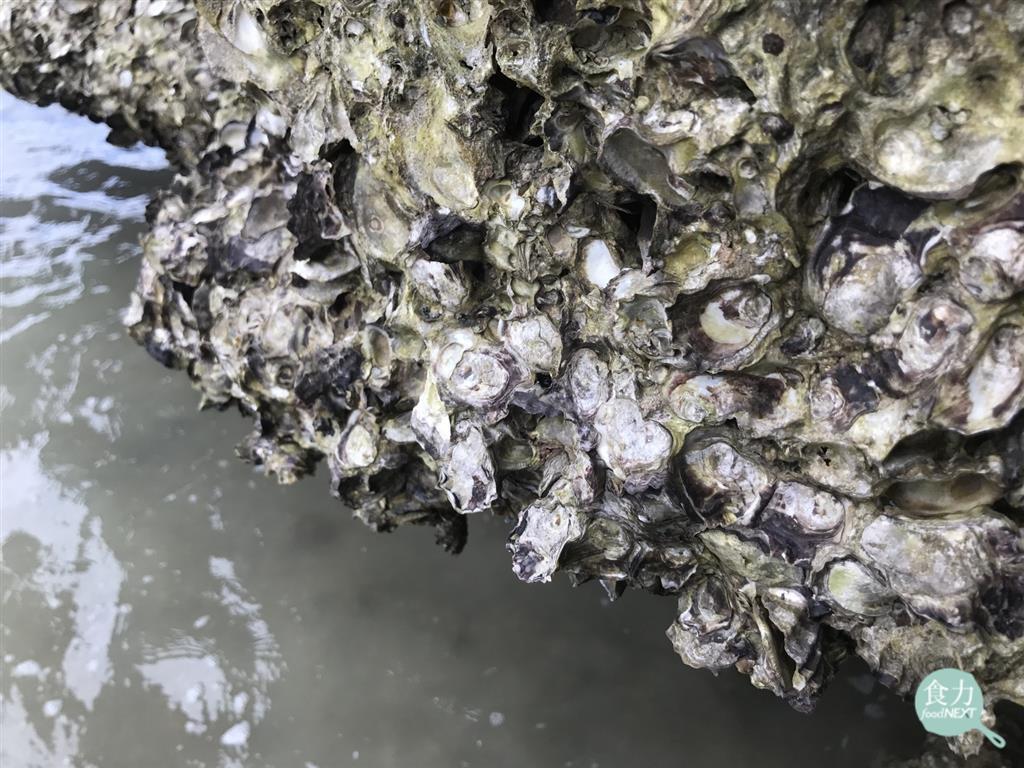 做好廢水處理就是這麼重要!科學家在牡蠣發現各種病原菌、塑膠、甚至是奶粉