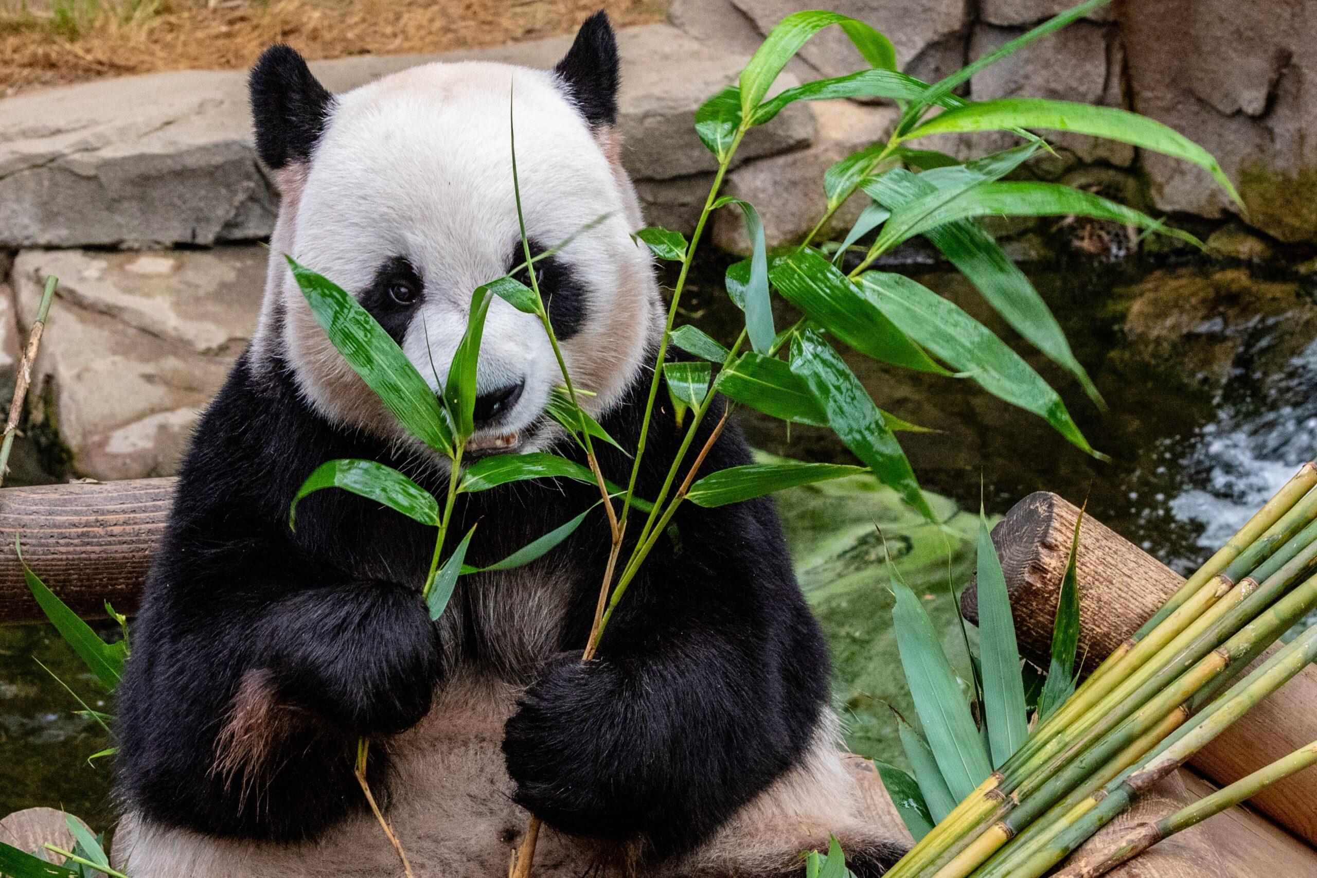 🐼熊貓媽媽吃便便?小熊貓剛生下來的顏色是 ? 熊貓寶寶是如何長大的 ?熊貓的專長是爬樹 ?可愛熊貓不怕摔 ?