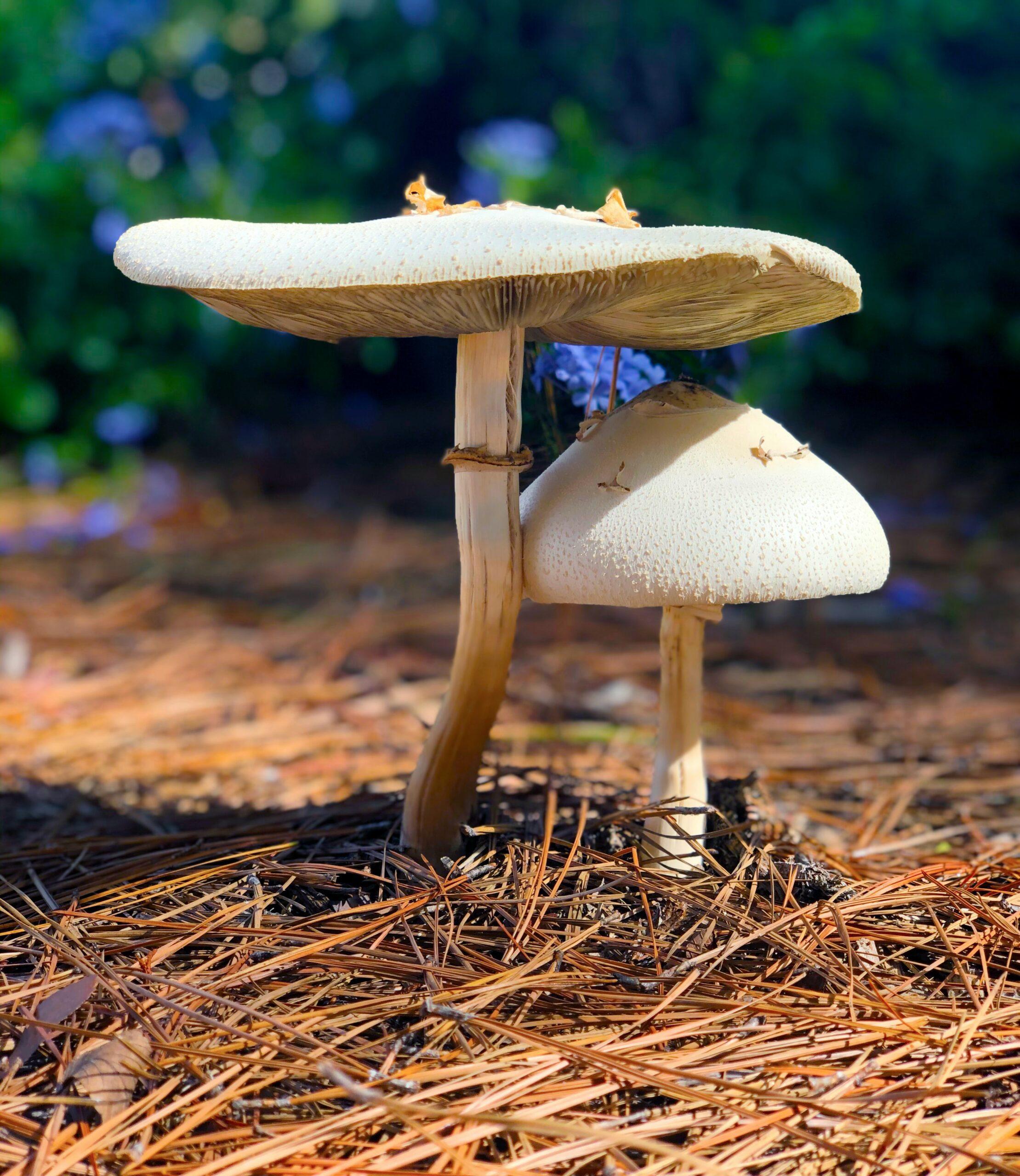 「食力」路邊的野菇別亂採!「綠褶菇」看似無害卻能讓你中毒