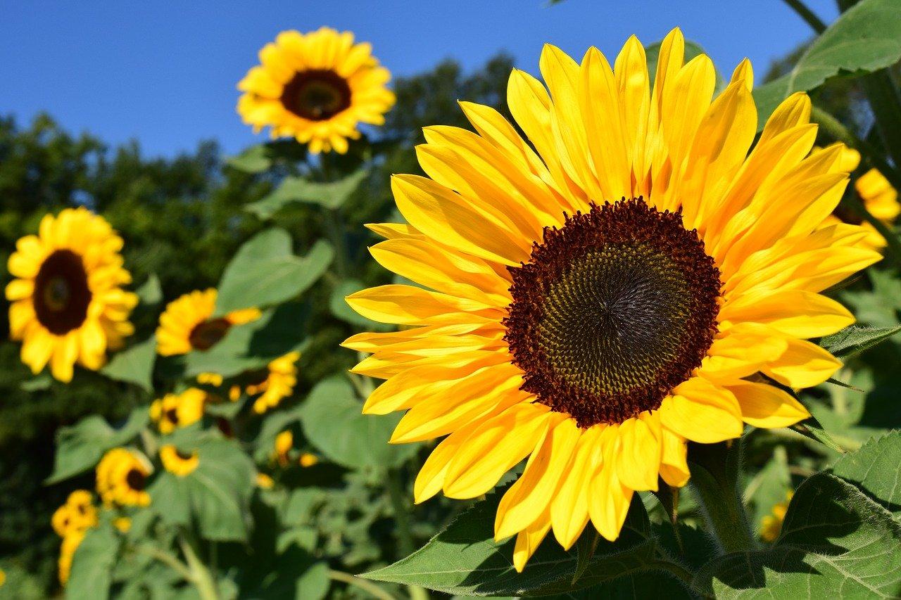 向日葵盛开啦! 盘点南加向日葵花海,夏日徜徉在金色的花海中~