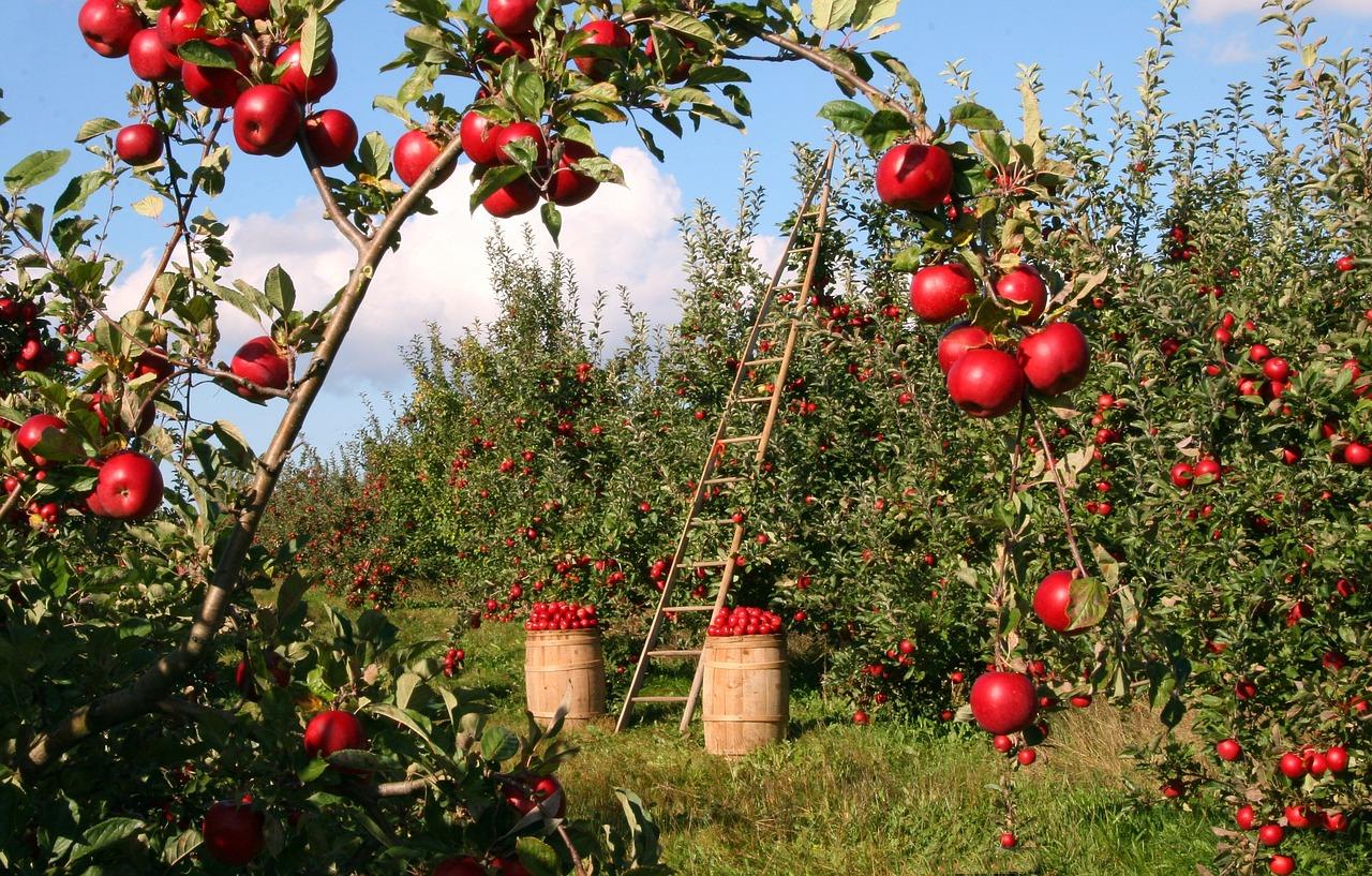 apples, orchard, apple trees-1873078.jpg
