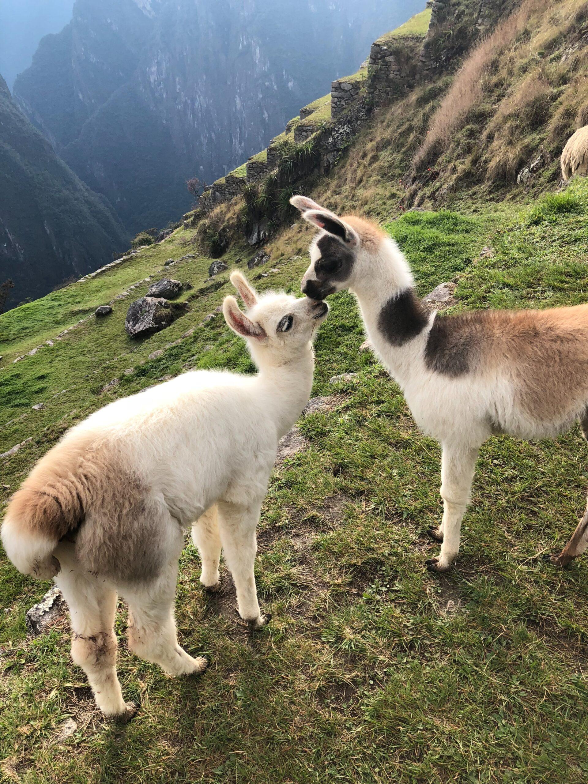【可愛預警】一年一度的全美羊駝農場節來啦,就在本週末!超治癒的羊駝任你擼,還有各種可愛周邊!